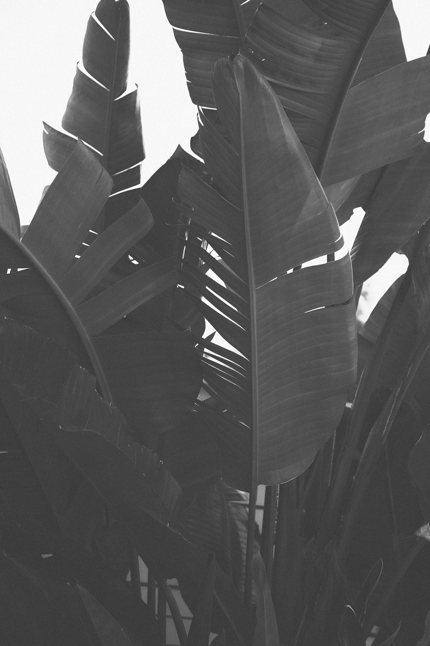 hollywood-palm-bw